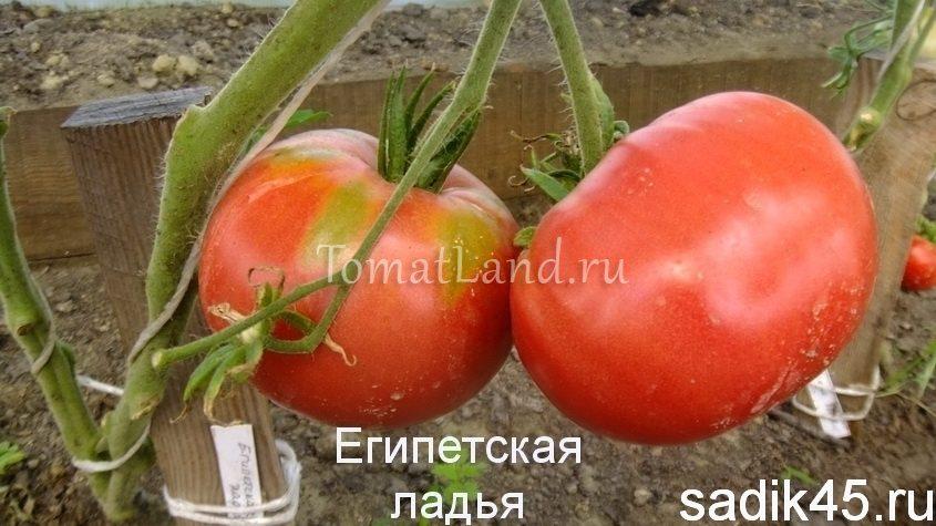 помидоры Египетская ладья фото