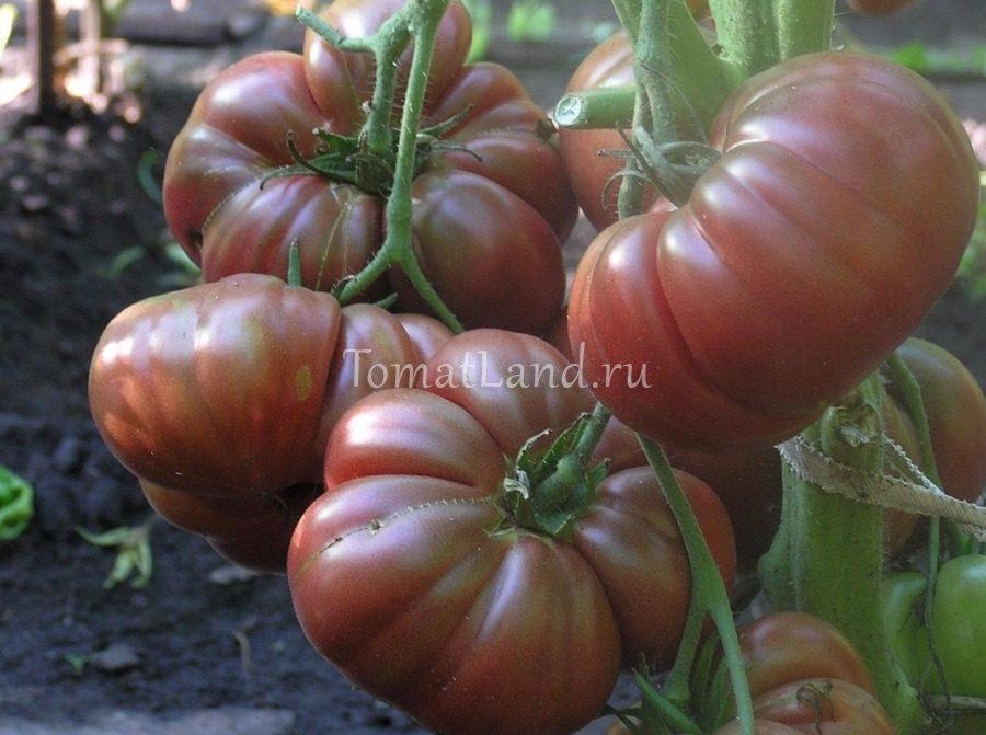 помидоры Индийское мясо фото