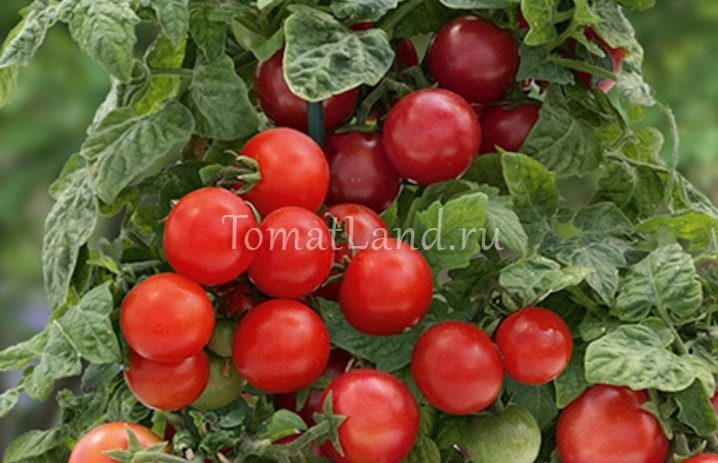 помидоры Крошка Тим фото