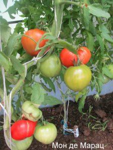 томаты Мон-де-Maрац фото куста