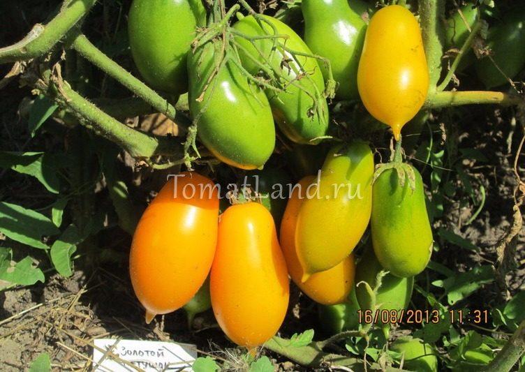 помидоры Золотой петушок фото