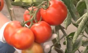 томаты бабушкино лукошко фото
