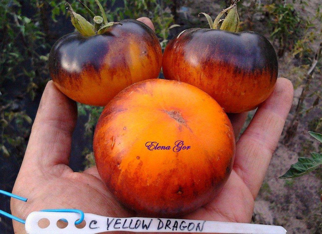 помидоры Желтый дракон фото