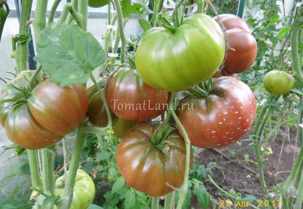 помидоры Варшава фото