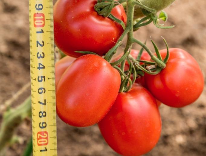 помидор великосветский фото