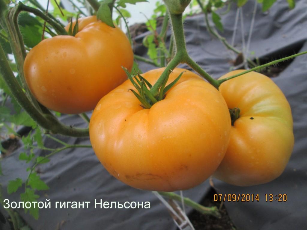 помидоры Золотой гигант Нельсона фото
