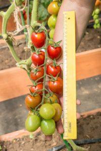 томаты черри вера фото