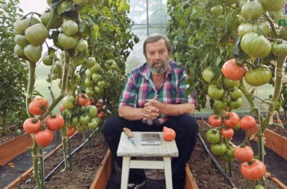 помидоры малиновая идея фото