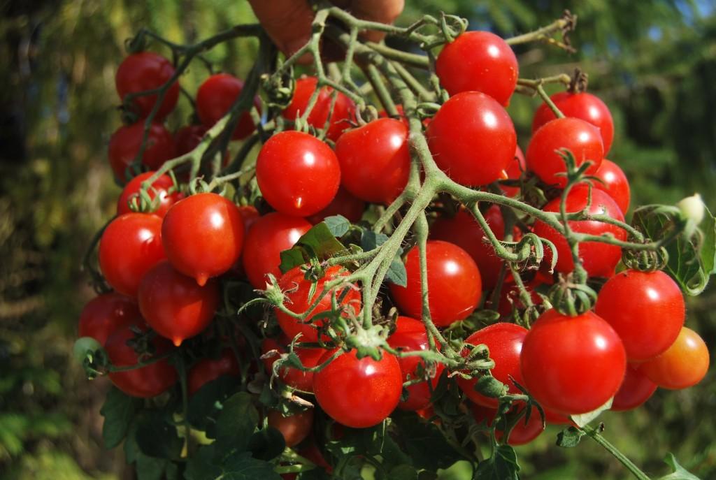помидоры райзентрауб фото