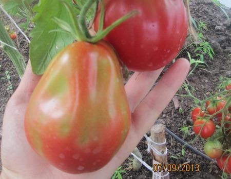 томаты итало-американский голдмана фото
