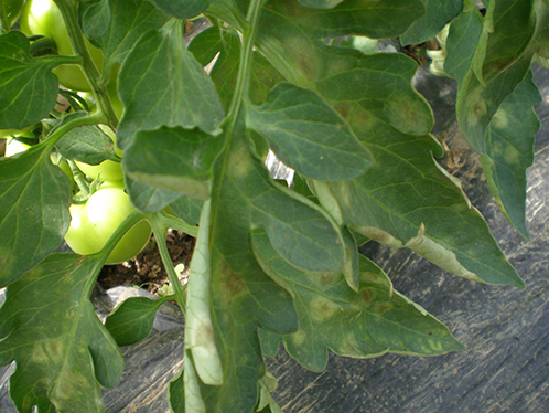 кладоспориоз томатов лечение фото