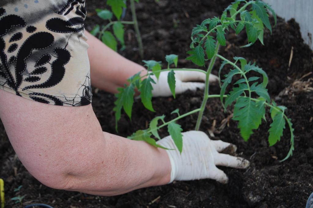посадка томатов в теплицу фото схема