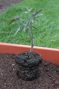 planting-tomatoes3