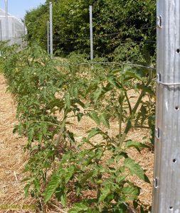 посада томатов фото