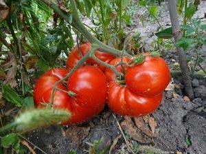 помидоры Жар горящие угли