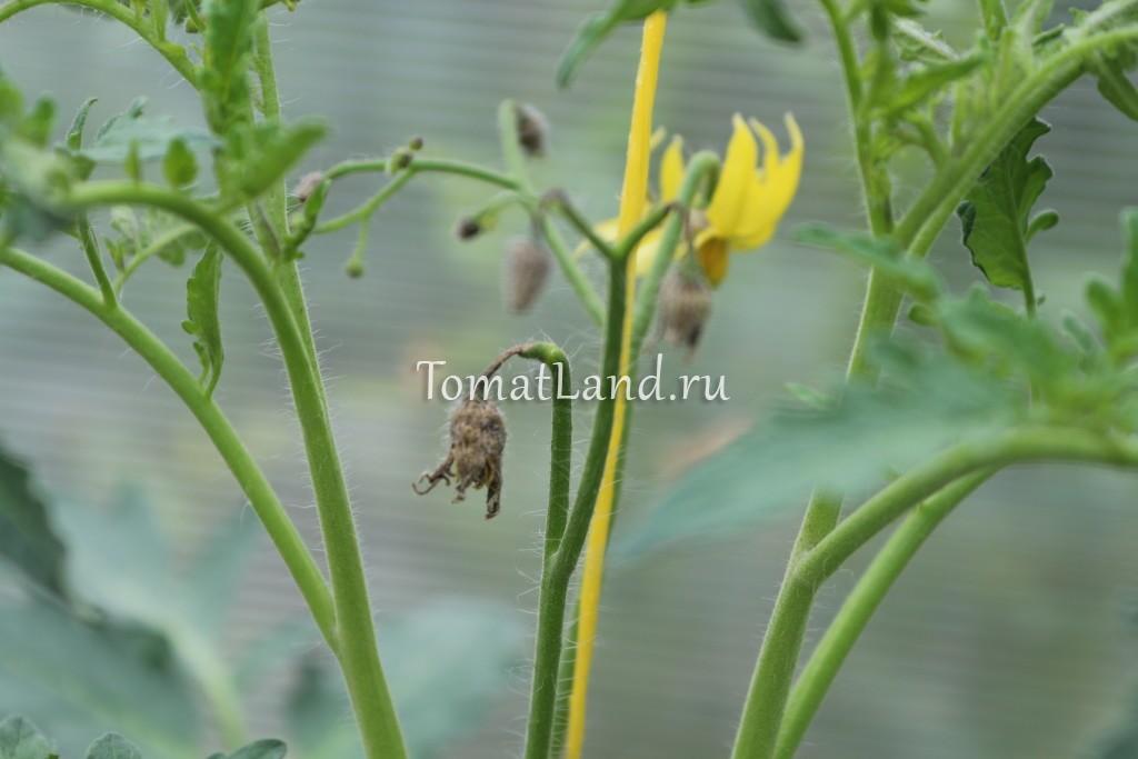 сохнут цветки на томатах