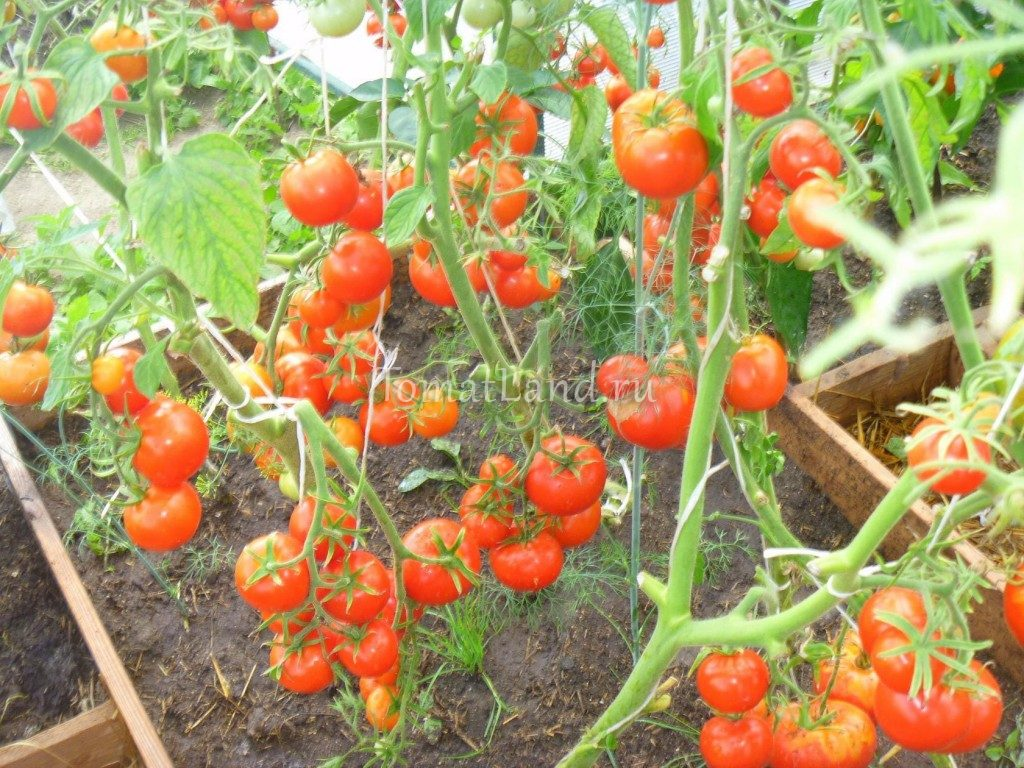 помидоры евпатор отзывы и фото томатов на кусте