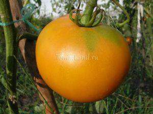 томат сорт апельсин