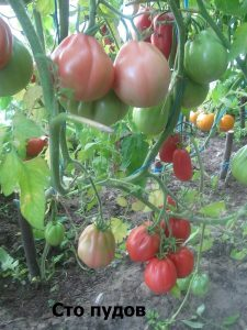 помидоры сто пудов особенности агротехники
