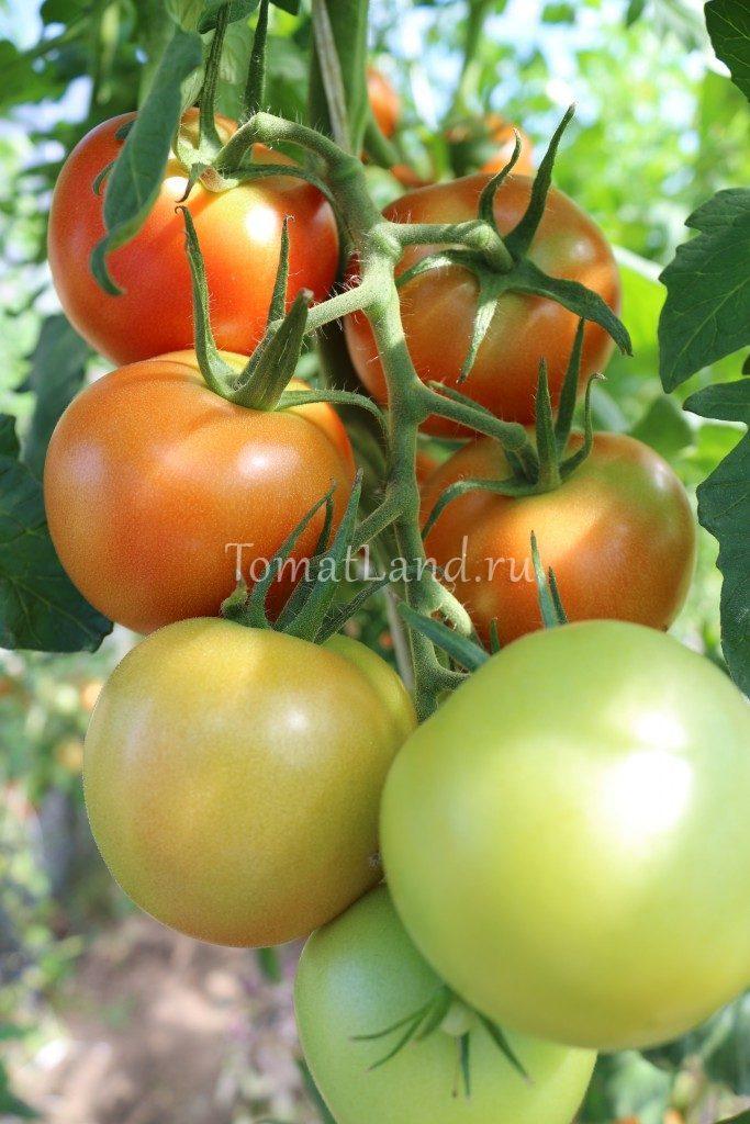 томаты интуиция фото плодов
