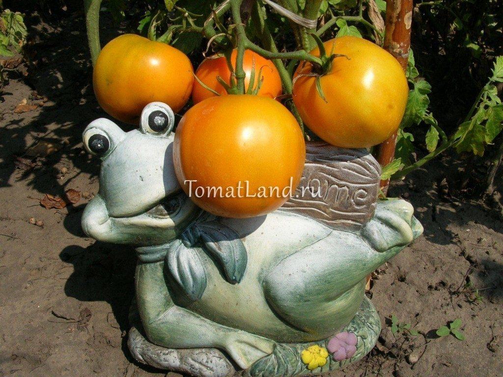 помидоры Апельсин ajnj