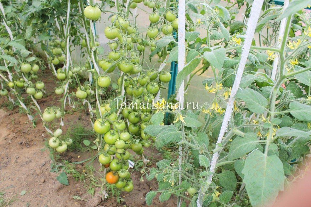 томаты интуиция отзывы и фото куста