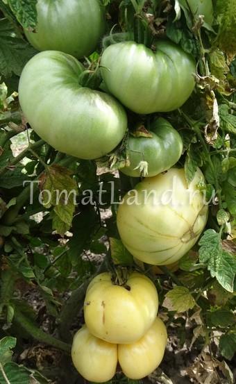 помидоры большой пломбир отзывы