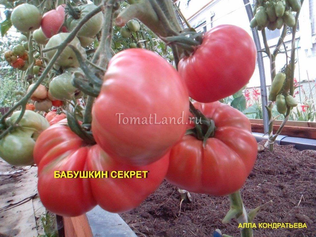 бабушкин секрет помидоры фото куста