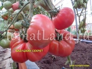 бабушкин секрет томат