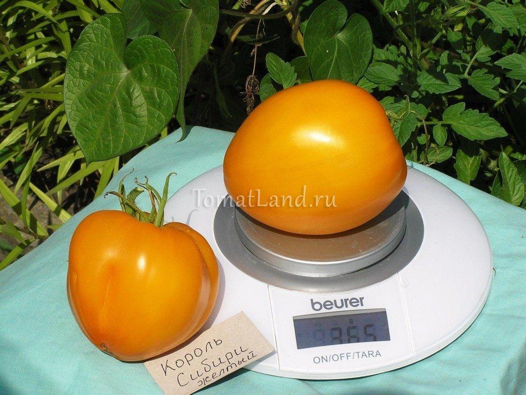 помидоры король сибири фото