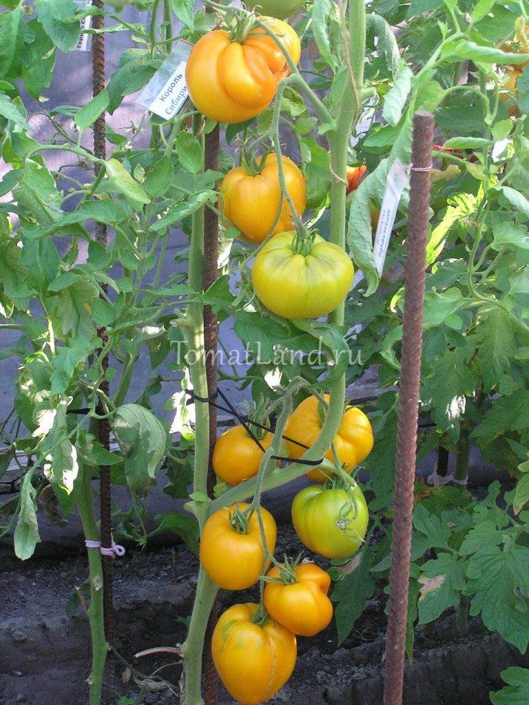 томаты король сибири фото на кусте