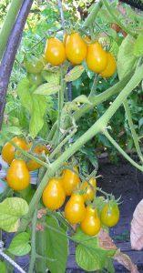 томаты медовая капля