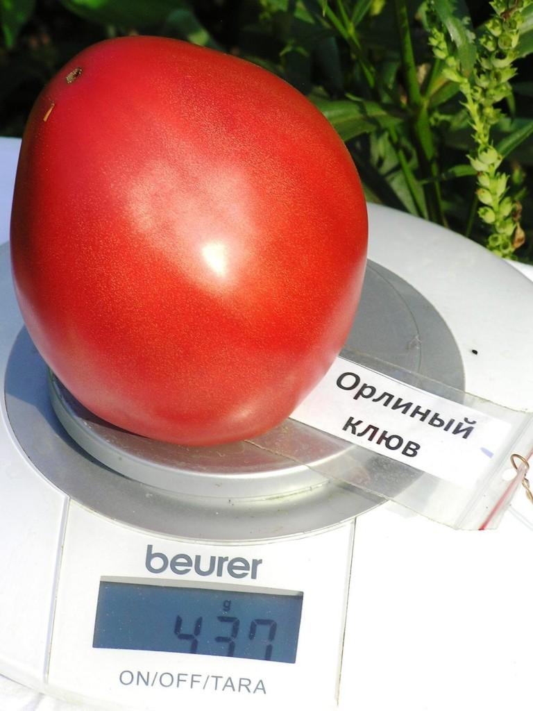 помидор орлиный клюв на весах фото