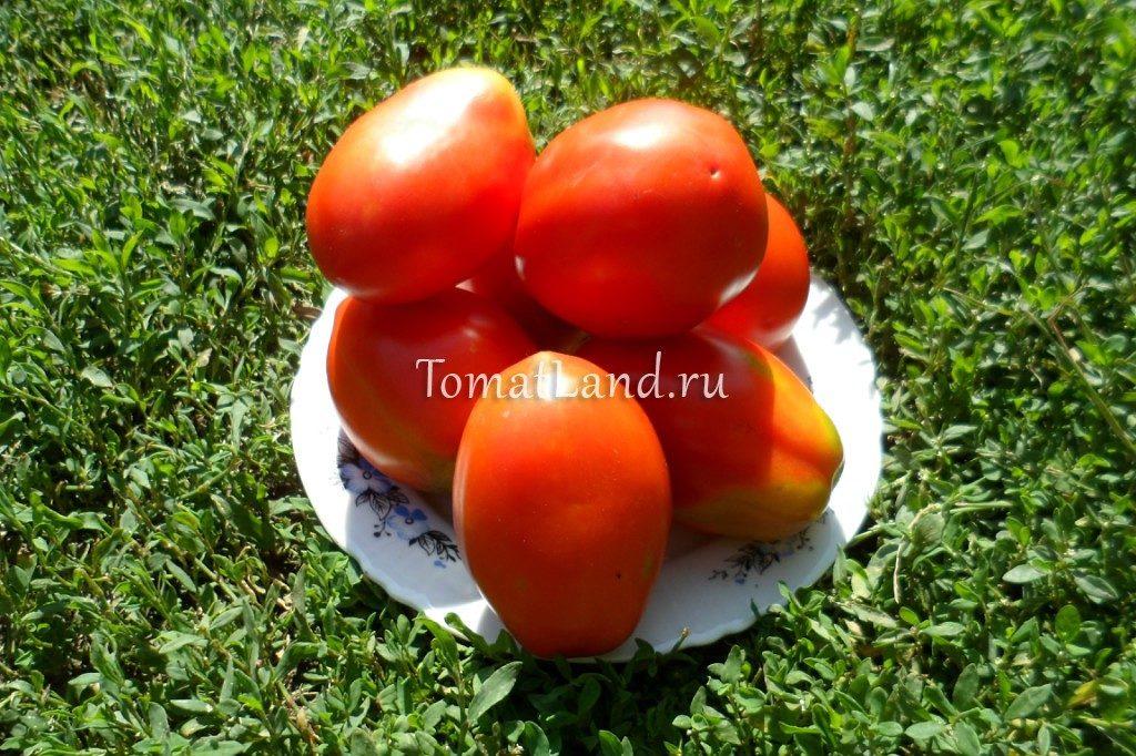 томаты петруша огородник отзывы