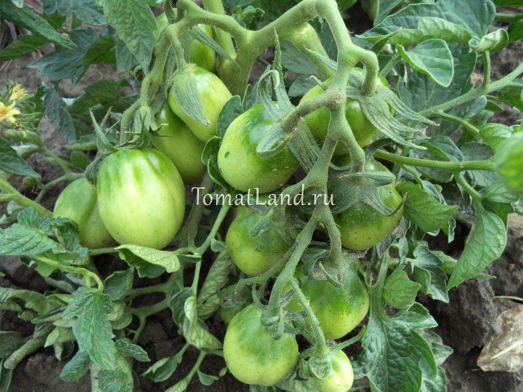 помидоры петруша огородник отзывы фото
