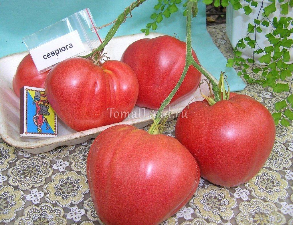 помидоры севрюга фото спелых плодов