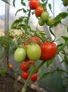 помидоры Толстой f1