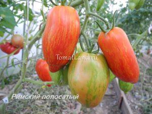 томат римский полосатый отзывы