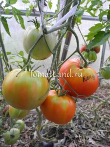 томат конус отзывы