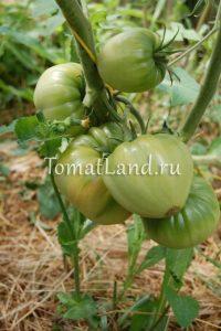 томат большая малина фото куста
