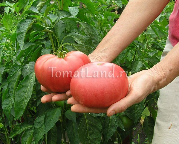помидоры розовый гигант фото