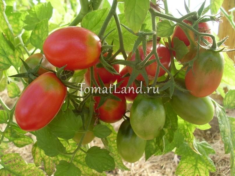 томаты Чио-Чио-Сан фото куста
