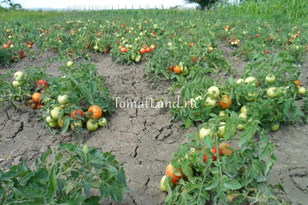 томат санька отзывы фото