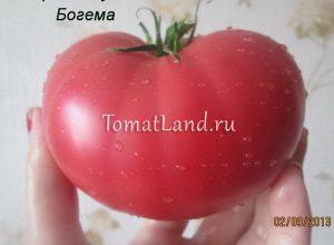 помидоры богема фото
