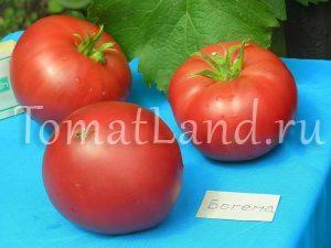помидор богема фото