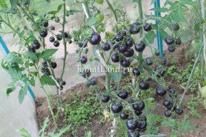 помидоры индиго роуз фото