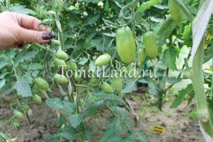 помидоры изумрудный самоцвет фото