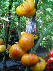 томат король красоты фото куста