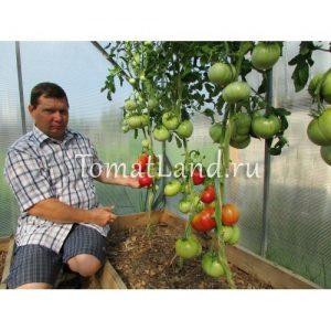 помидоры малиновый натиск фото