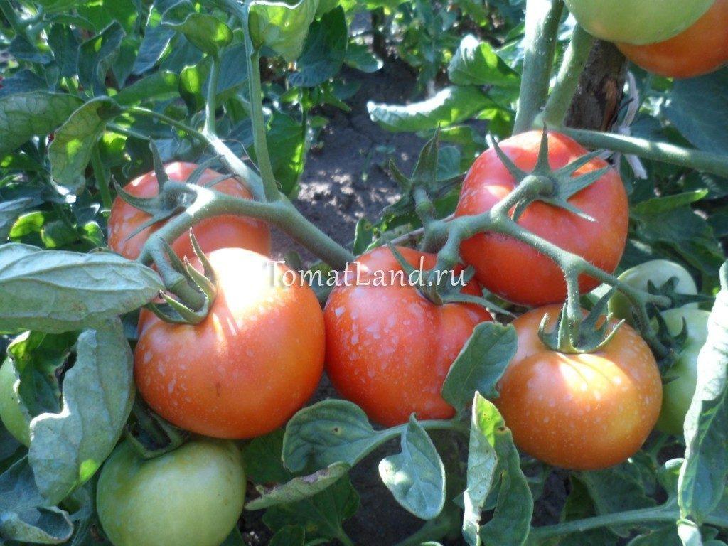 помидоры Санька фото куста